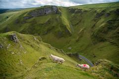 Sheep at Winnats Pass (ola_er) Tags: sheep nature mountain pass mountains winnats peak district national park naturescape landscape