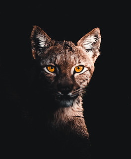 Eurasian Lynx in the dark