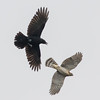 Crow Chases a Coopers Hawk (Scott Alan McClurg) Tags: acooperii accipiter accipitridae accipitriformes aves cbrachyrhynchos corvidae corvoidea corvus flickr neoaves neognathae neornithes passeri passeriformes american americancrow animal autumn bird black blackandwhite carnivore cold color coopers coopershawk crow dive fall flapping flickrbirds flight flp fly flying hawk life nature naturephotography portrait predator raptor wild wildlife winter