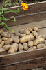 CKuchem-5992 (christine_kuchem) Tags: bauerngarten beet biogarten erde ernte erntekiste erntezeit feld frühkartoffel garten gartenerde gemüse gemüsebeet gemüsegarten glorietta grabgabel herbst holz holzkiste kartoffel kartoffelbeet kartoffelfeld kartoffelkiste kiste naturgarten nutzgarten pflanze privatgarten rarität sorte sortenvielfalt vielfalt alt bio biologisch frisch früh gesund naturnah natürlich reif