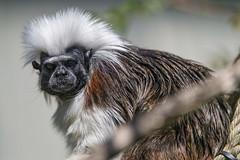 Cotton top tamarin (Tambako the Jaguar) Tags: primate monkey cotton top tamarin portrait cute face mulhouse france alsace zoo nikon d5 explore