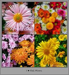 I ♥ Fall Mums  02 (M.J.Woerner) Tags: november fallmums asteraceae chrysanths autumcolors postermums chrysanthemum autumflower