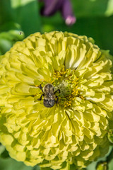 _DSC0391 (johnjmurphyiii) Tags: 06107 bees connecticut elizabethpark garden insect originalnef summer tamron18400 usa westhartford flowers johnjmurphyiii macro