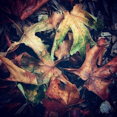 Antecedents to Autumn (Robert_Brown [bracketed]) Tags: robertbrown portland oregon photography color square instagram dead leaves colorful stilllife orange green yellow summer 2017 abstract texture