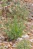 CAE005674a (jerryoldenettel) Tags: 170916 2017 arabela asterids deserttobacco lincolnco nm nicotiana nicotianatrigonophylla solanaceae solanales tobacco wildflower flower