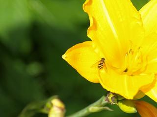 Schwebfliege auf gelber Lilie