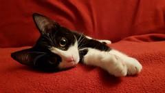 Diva Uschi auf dem roten Sofa (Susanne Weber) Tags: cat kitten katze uschi animal tier cute red diva black white haustier kätzchen sofa rot niedlich nice sweet super beauti top20cute love liebe flickr natur nature