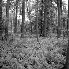 Fern Forest (Meleager) Tags: kodak iso400 trix 6x6 medium format microcord tlr british maryland delmarva film bw black white ocean city