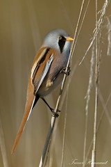 Bearded Reedling (Panurus biarmicus) Male, (Trevsbirds) Tags: beardedtit