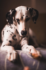 No flys today (Leo Hidalgo (@yompyz)) Tags: portrait summer home pitia dog animal perro lying down dalmatian dálmata yompyz