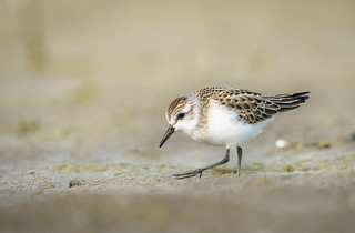 Semipalmated Sandpiper looking for grubs