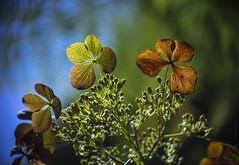 both beautiful (gnarlydog) Tags: adaptedlens kodakanastigmat63mmf27 flowers nature australia backlit silhoutte bokeh shallowdepthoffield vintagelens manualfocus rimlighting rainforest wabisabi