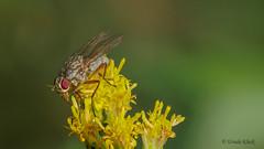 Fliege auf Goldrute (Oerliuschi) Tags: scheufliege fliege fly insect macro natur schärfentiefe stacking heliconfocus panansonicgx8 lumix