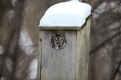 Screech-Owl_Livonia-MI_01-12-2011b (Count_Strad) Tags: birds bird bluejay screechowl owl jay livonia mi michigan