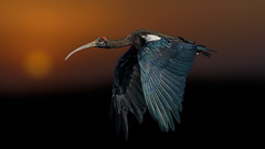 Old Monk... (chandra.nitin) Tags: animal bif bird flying ibis nature rednapedibis newdelhi delhi india