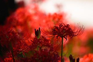 Red spider lily #4