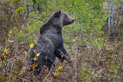 Grizzly bear standing up, Grand Teton National Park, Jackson, Wyoming (diana_robinson) Tags: grizzlybear twooceanlake grandtetonnationalpark jackson wyoming wildlife bearstanding animal standing pacificcreekroad hindlegs