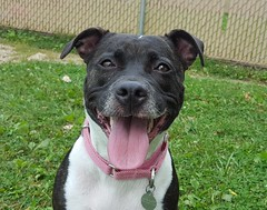 Roxxie (DDA1) Tags: saveapetilorg adoption adoptionshelter adoptioncenter adoptable adopt amstaff pitbullmix pitbull dog outdoor doggiesmile