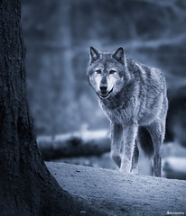 Gray Wolf (Canis Lupus). (_Anathemus_) Tags: gray grey wolf canis lupus animal forest nikon d750 atmosphere stare nature western