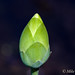 American Lotus Bud