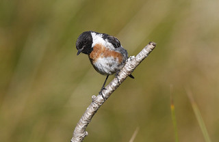 STONECHAT....Male....Powys