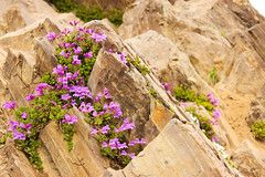Purple (csquags) Tags: flower flowers rock rocks nature pnw washignton wildflower wildflowers hiking