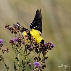 "American Goldfinch Lands In Thistle (dcstep) Tags: bird finch goldfinch americangoldfinch aurora colorado unitedstates us n7a1226dxo canon5dmkiv ef500mmf4lisii allrightsreserved copyright2017davidcstephens dxoopticspro114 ""cherry creek state park"" ngc"