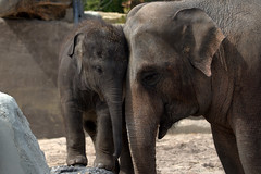 Cuddles for mama. Love you! (soetendaal) Tags: thong tai sanuk artis mama mother cuddles hugs cutebabyanimals zoo elephant calf veau éléphant elefantenkalb cría de elefante bezerro proboscis cuddeling love animal mammal itsazoooutthere canon aziatische olifant zwijgen