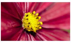 cosmos flower (spencerrushton) Tags: spencerrushton spencer rushton rhs canon5dmkiii 5dmk3 5dmkiii usm100mmgardengardensmanfrottomanfrotto 100mm canon100mmf28lmacroisusm efcanon100mmf28lmacroisusm macro rain rhswisley raw fillinflash flower fleur flori beautiful blume canonlens canon colour wisley yellow red wet gardens garden day dayout dethoffield