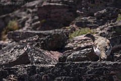 "White-tailed Ptarmigan • <a style=""font-size:0.8em;"" href=""http://www.flickr.com/photos/63501323@N07/35578669613/"" target=""_blank"">View on Flickr</a>"