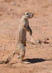 Cape ground squirrel (anacm.silva) Tags: capegroundsquirrel squirrel esquilo wild wildlife nature natureza naturaleza mammal mamífero africa namibia solitaire áfrica namíbia namibdesert