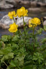 High Tatra Flora (Trollius europaeus) (The LakeSide) Tags: macro slovakia vysoke tatry tatra high nikon r1c1 d7100 flower flora