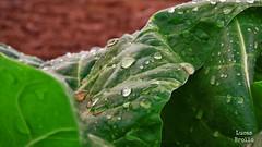 Gotas de Agua en hoja verde