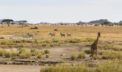 Just Standing There ... (AnyMotion) Tags: giraffe giraffacamelopardalis plainszebra steppenzebra equusquagga stream bach kopjes trees bäume savannah savanna savanne landscape landschaft 2015 anymotion serengetinationalpark tanzania tansania africa afrika travel reisen animal animals tiere nature natur wildlife 7d2 canoneos7dmarkii landschaftsaufnahmen ngc npc