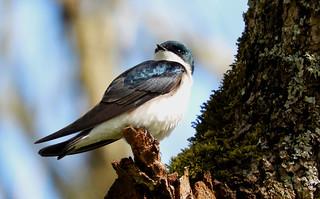 Tree Swallow 4-28-17 Ridgefield National Wildlife Refuge