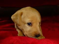 Puppy Sky..x (Lisa@Lethen) Tags: puppies puppy sleepy pet labrador golden