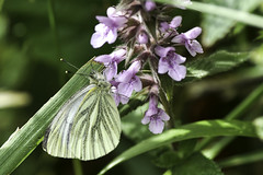 hooked on a feeling (220/365) (werewegian) Tags: butterfly insect greenveined white feeding sipping werewegian macro aug17 365the2017edition 3652017 day220 8aug17 green lilac