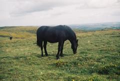 Dartmoor pony 5 (avenwildsmith) Tags: film 35mm nature devon countryside landscape analog analogue kodak retinette 1b grain england britain wild wilderness horizon animal pony moor moors moorland dartmoor dark black brown grass grazing eating 35mmfilm kodakretinette1b
