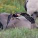 Juvenile Marsh Harrier