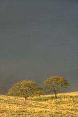 Hawthorn Trees