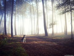 La senda( Explore) (Guillermo Carballa) Tags: malu dog dogs animals forest woods fog mist light morning trees pines carballa lx5