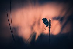 Lycaenidae in sunset. (Markus1224 (off for one week)) Tags: butterfly schmetterling macro makro gegenlicht backlight blue lycaenidae bläuling nature reserve germany badenwürttemberg nikon d5500 sunset sonnenuntergang dof raw abstrakt abstract surreal bokeh spring night dunkel