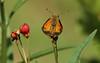 Zabulon Skipper, Butterfly Weed, Backyard, 08-06-2017_IMG_1508a (Nancy L Erickson) Tags: zabulonskipper skipper skippers butterfly butterflies pinehill nj butterflyweed wildflower