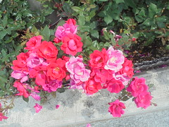 056 (en-ri) Tags: rose roses foglie leaves sony sonysti cespuglio