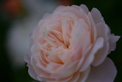 Rose 'Crocus Rose' raised in UK (naruo0720) Tags: rose englishrose crocusrose bredbydavidaustin englishrosescollection バラ イギリスのバラ クロッカスローズ オースティンのバラ イギリスのバラコレクション