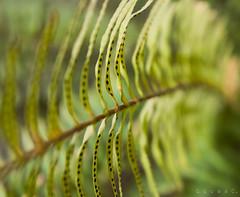Dia de suerte (lucascáceres1) Tags: plant naturepics naturephotography blossom macro closeup green garden nikon nikonistas d3200 helecho planta