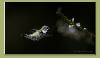 Ruby-throated Hummingbird / Colibri à gorge rubis / Archilocus colubris