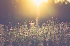 Summer Bouquet (der_peste) Tags: bokeh backlight backlit sunlight flower flare sun sunset nature dof dephtoffield depthoffield shallowdepthoffield blur color lighten lit sonya7m2 sel90m28g