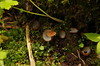 Becherlinge (widarr) Tags: natur nature zillertal pilz mushroom wald forest