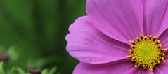 flower (daveandlyn1) Tags: daisyish iii f3556 efs1855mm 1200d eos canon depthoffield